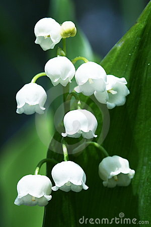 Free Lilly Of The Valley Royalty Free Stock Photos - 5167338