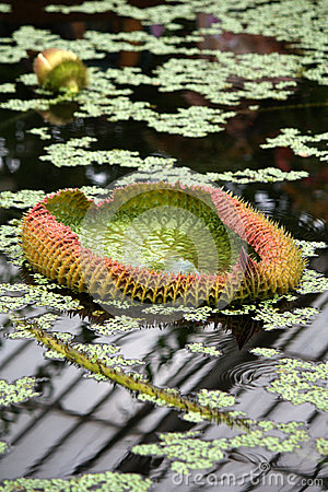 A lilly pad