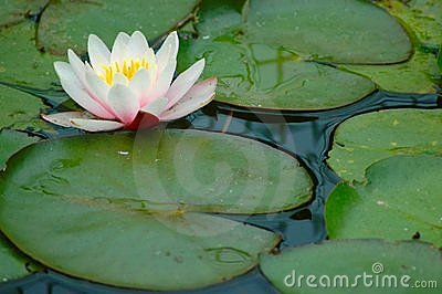 Lilly Pads with flower.