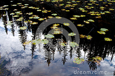 Lilly Pads and Pine Tree Reflection in Yellowstone National Park