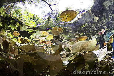 Lilly pads  from underwater