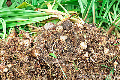 Lilly Root