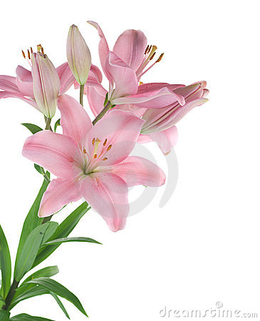 Free Lily Royalty Free Stock Images - 14001369
