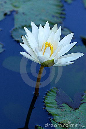 Free Lily Stock Images - 6090794