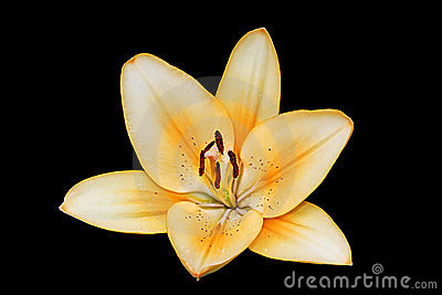 Lily On Black Background