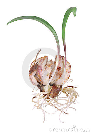 Lily bulb isolated on white