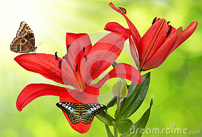 Lily with butterflies