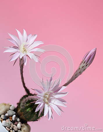 Lily cactus, flower on pink  background