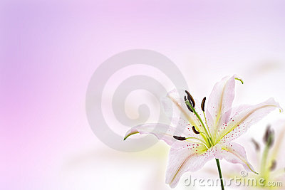 Lily flower background