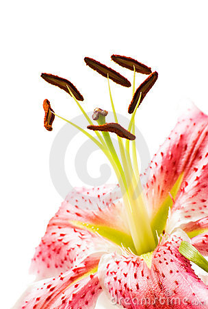 Lily flower closeup