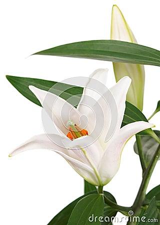 Free Lily Flower On White Stock Photo - 16735740