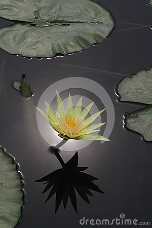 Lily Flower Reflection