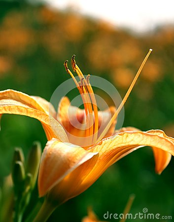 Free Lily Flower Wallpaper Royalty Free Stock Photography - 103192307