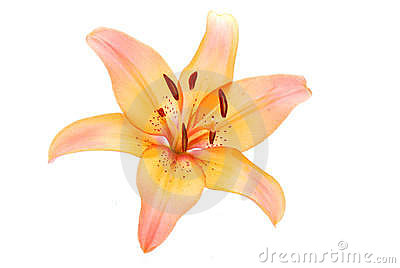 Lily flower on white