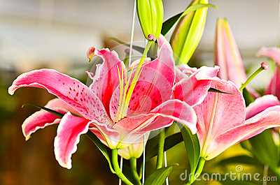 Lily fragrance  blooming