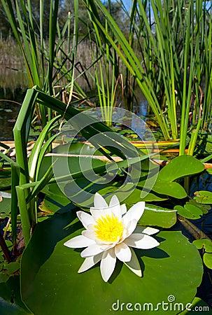 Lily on lake