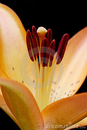 Lily macro over black