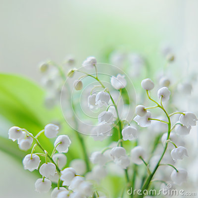 Free Lily Of The Valley Royalty Free Stock Photography - 48588947
