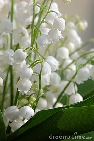 Free Lily Of The Valley Royalty Free Stock Photography - 769267