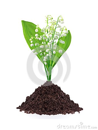 Free Lily Of The Valley In Ground Isolated On White Stock Photo - 40327760