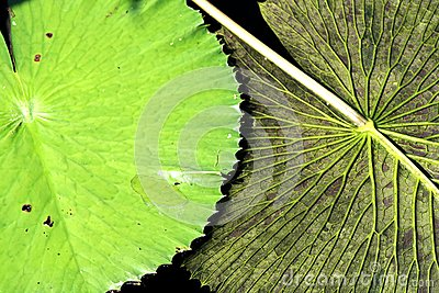 Lily Pad Flipped