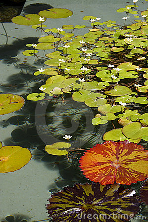 Free Lily Pads Stock Photography - 4531442