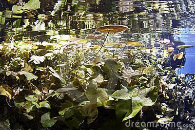 Lily pads in cenote