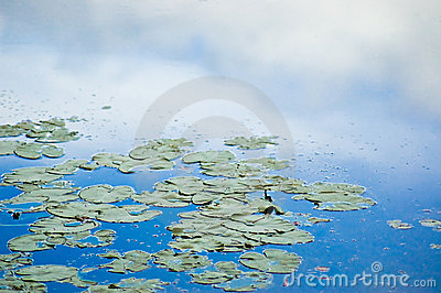 Lily pads and sky reflection