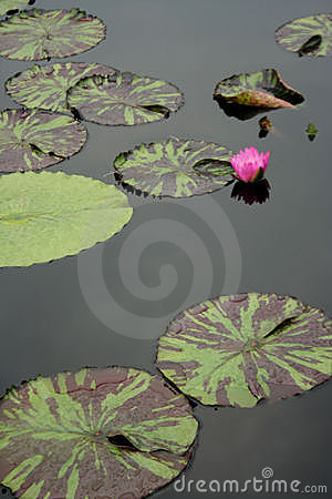 Lily Pads in Still Water