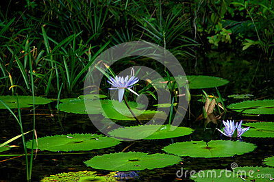 Lily pads with water lilies in bloom