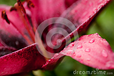 Lily after the rain