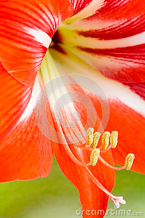 Lily red stamens pestle