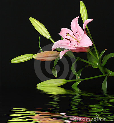 Lily reflected in water