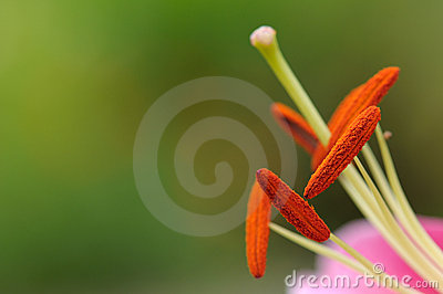 Lily stamens and pistil