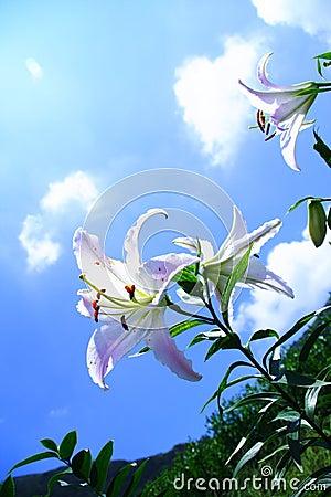 Lily under shiny sun