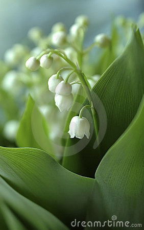 Lily-of-the-valley close-up