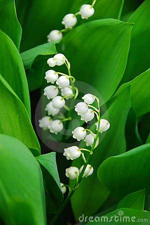 Lily-of-the-valley closeup