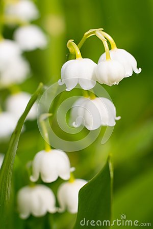 Lily-of-the-valley, convallaria