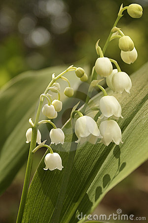 Lily-of-the-valley (Convallaria majalis)