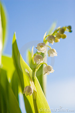 Lilyofthevalley Flowers on Lily Of The Valley Flower Stock Photos   Image  4479143