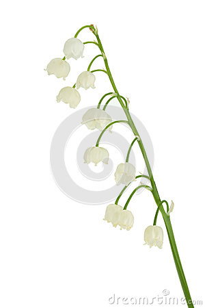 Lily of the valley in flowerpot