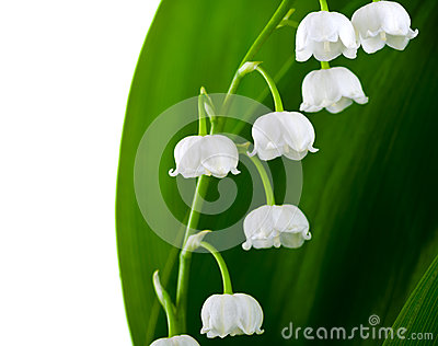 lilyofthevalley royalty free stock photos  image, Beautiful flower