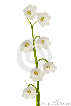 Lily of the valley on isolated