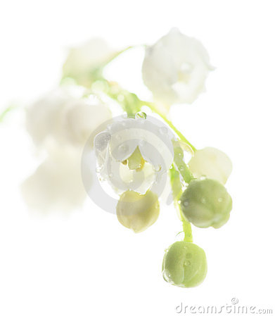 Lily of the valley, isolated on white