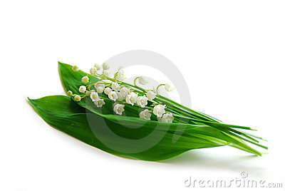 Lily-of-the-valley on white