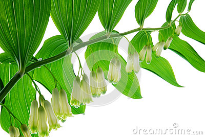 Lily of the walley