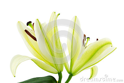 Lily on white