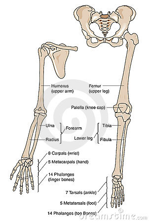 Free Limb Bones Royalty Free Stock Photos - 9845508