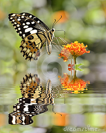Free Lime Butterfly Above Water With Reflection Stock Image - 36831631