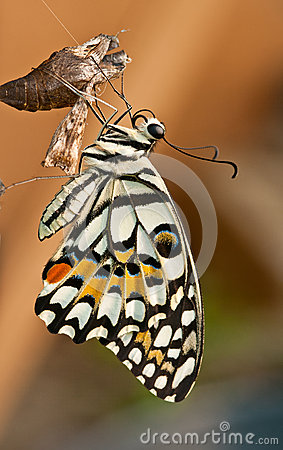 Free Lime Butterfly Out Of The Cocoon Stock Images - 43618384